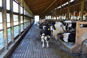 nutrición en ganado lechero